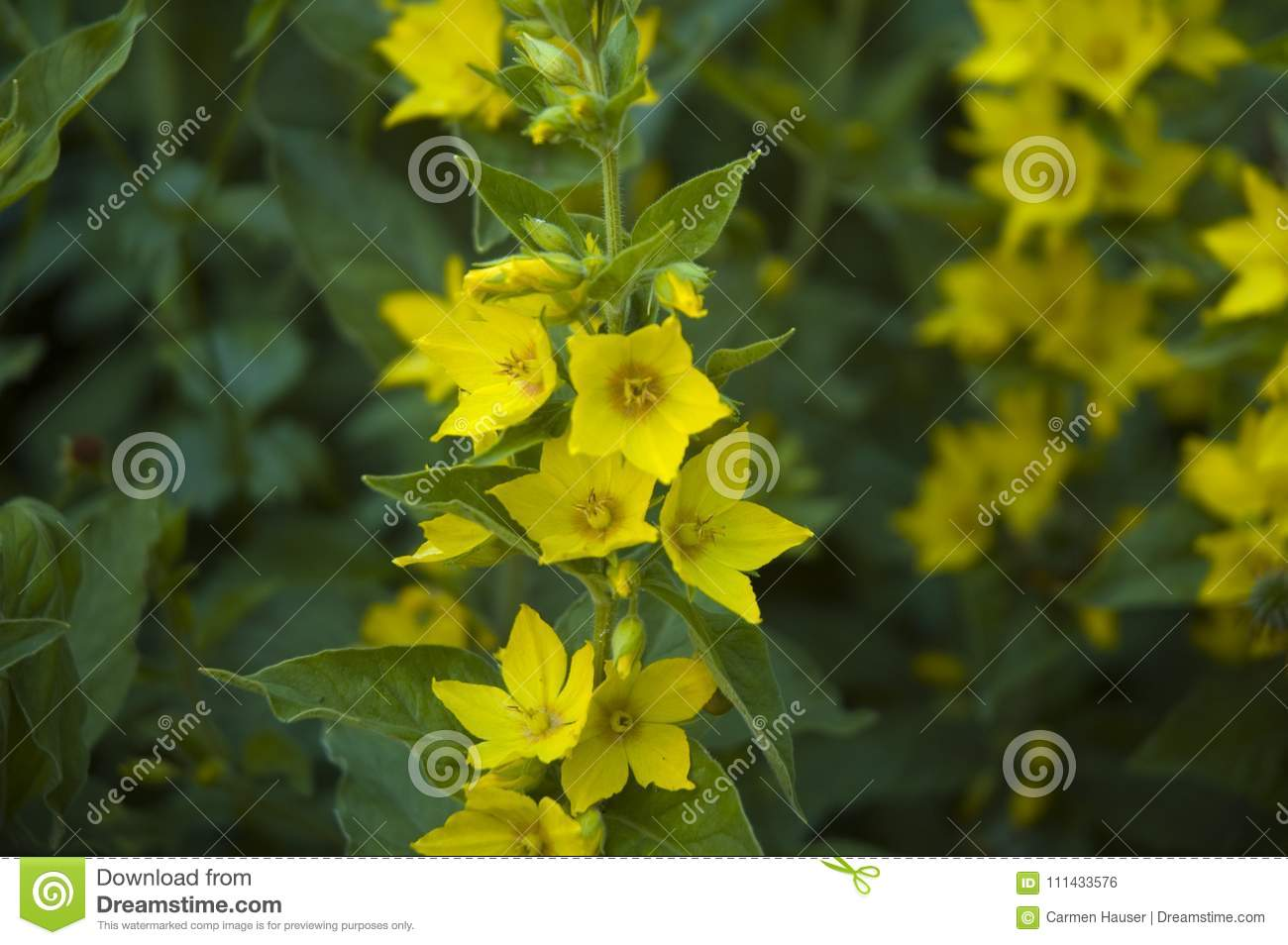 Yellow Flowers Of Dotted Loosestrife Stock Photo Image Of Yellow