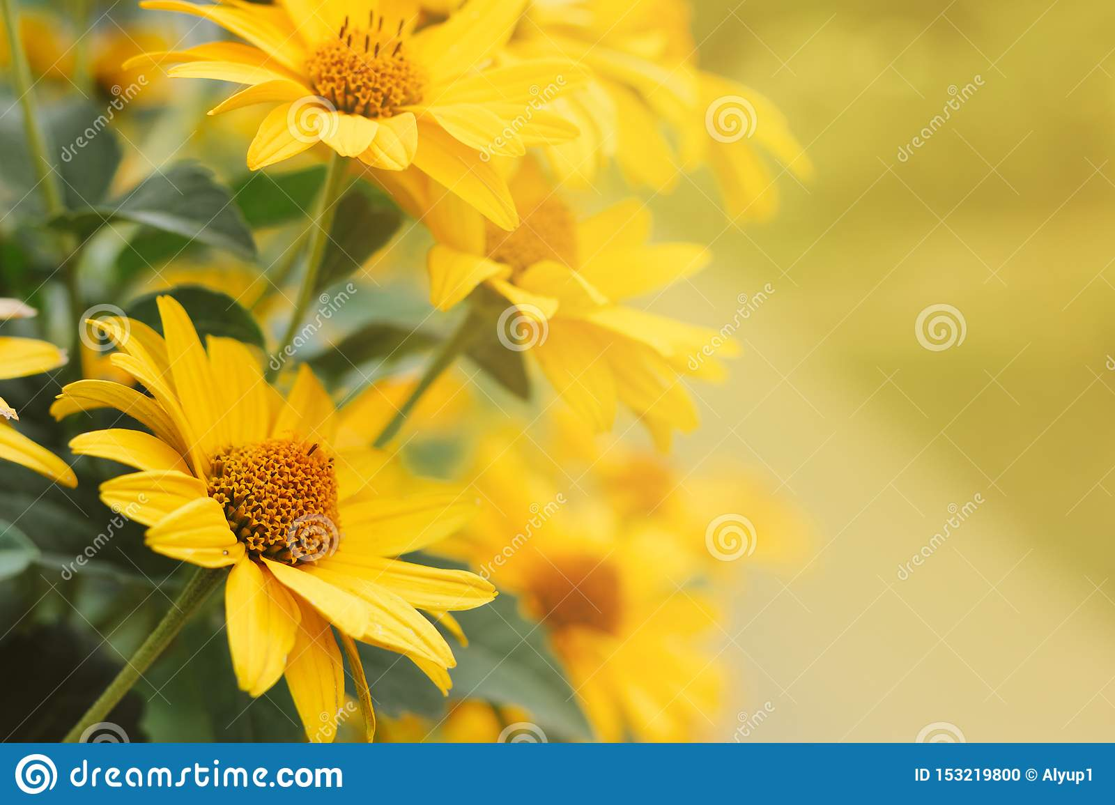 Yellow flowers of Echinacea blurred bokeh background with a blank space for text