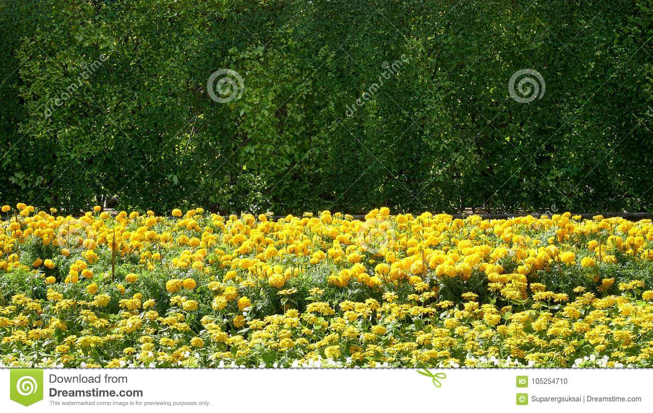 Yellow flowers field on green bushes background stock photo image download comp mightylinksfo