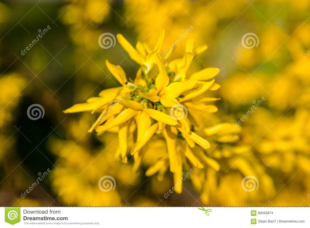 Yellow Flowers Of Forsythia In Bloom On Pretty Sunny Spring Day
