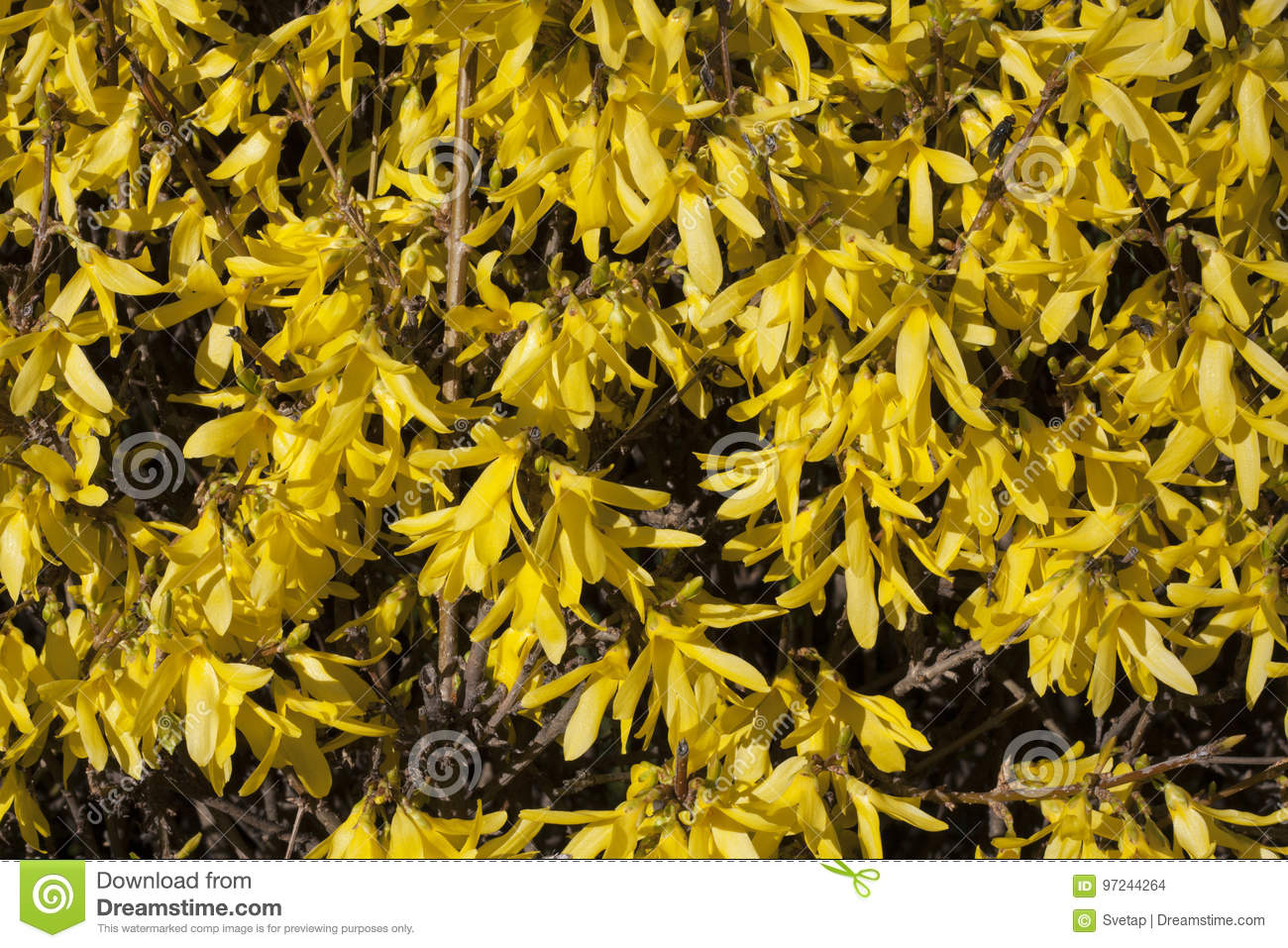 Yellow Flowers Forsythia On The Bush Texture Photo In Spring Stock