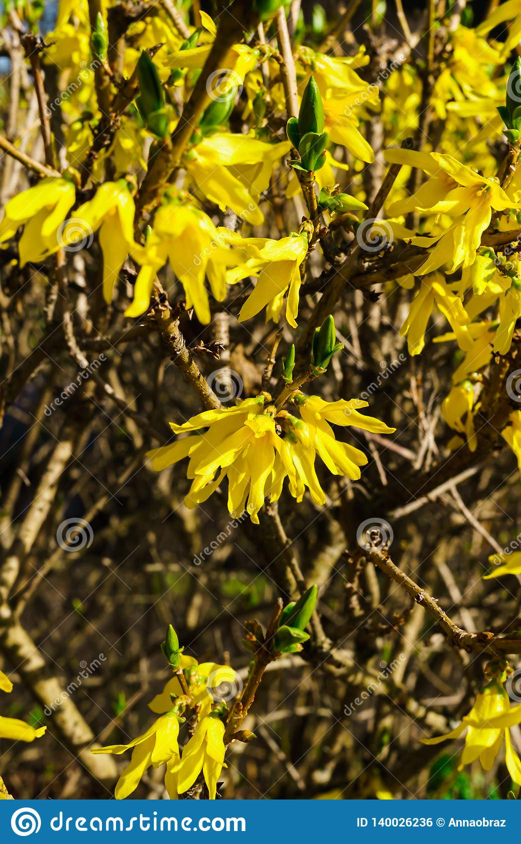 Yellow Flowers Forsythia In Early Spring On Bare Branches