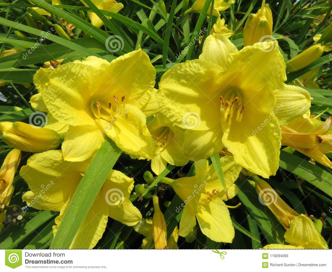 Yellow Flowers In Full Bloom In Spring In June Stock Image Image