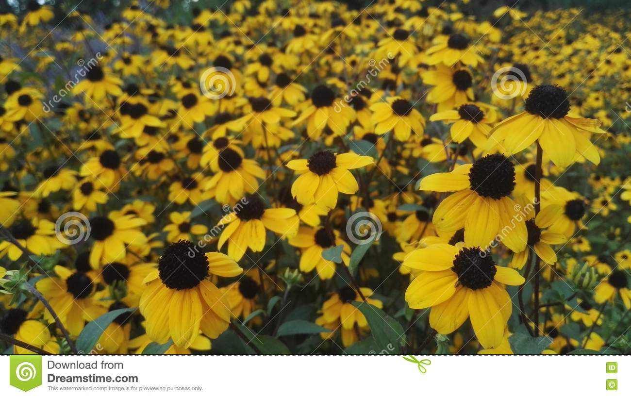 Yellow Flowers In The Garden Stock Image Image Of Rapid Park