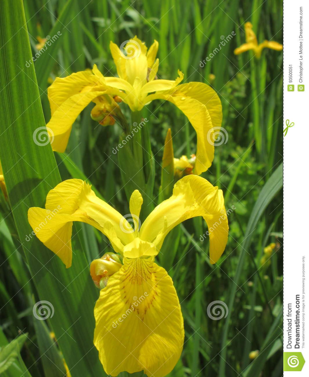 Yellow Flowers Stock Image Image Of Flowers Gorgeous 93500051