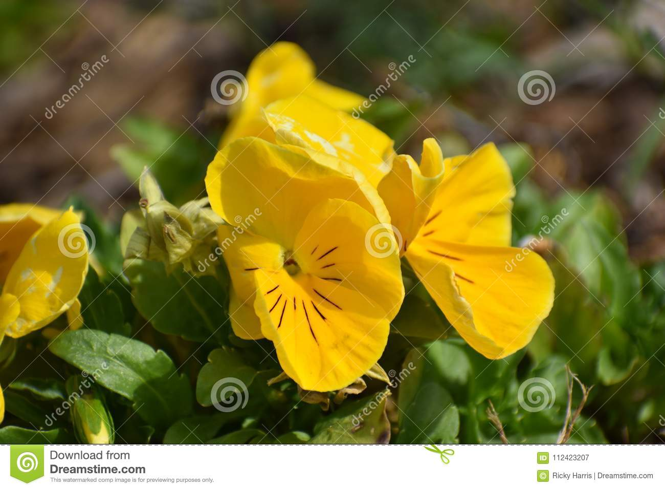 Yellow flowers in granbury texas stock image image of green coors download yellow flowers in granbury texas stock image image of green coors 112423207 mightylinksfo