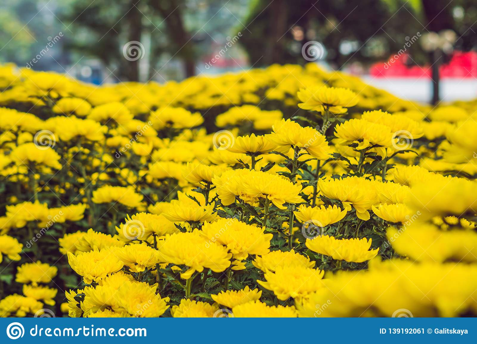 Yellow Flowers In Honor Of The Vietnamese New Year. Lunar ...