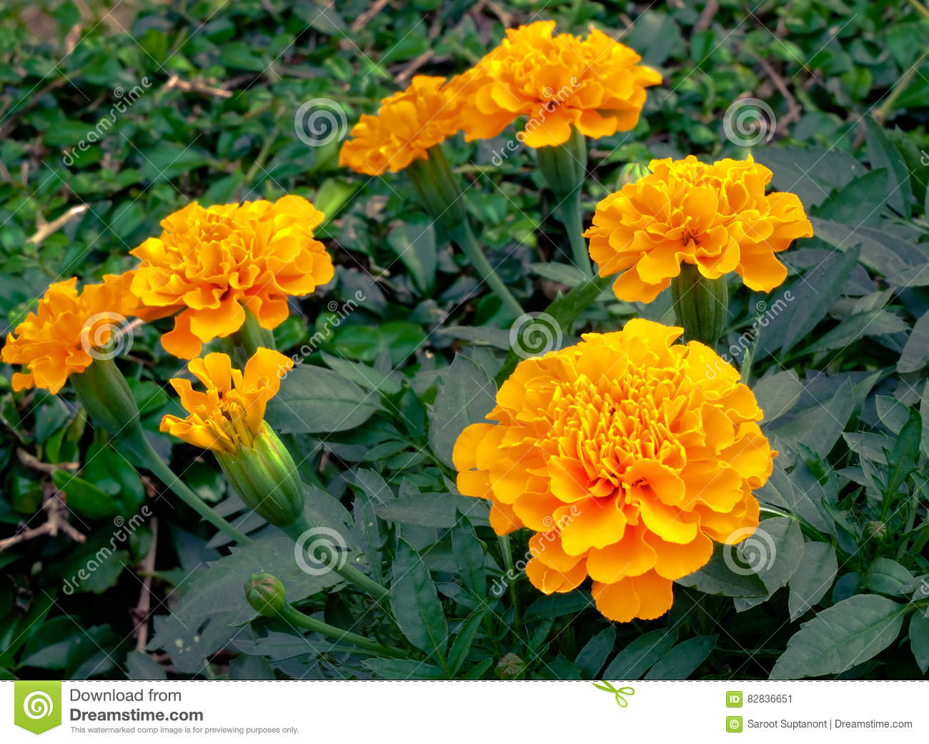 Yellow Flowers Stock Image Image Of Natural Green Nongnuch 82836651