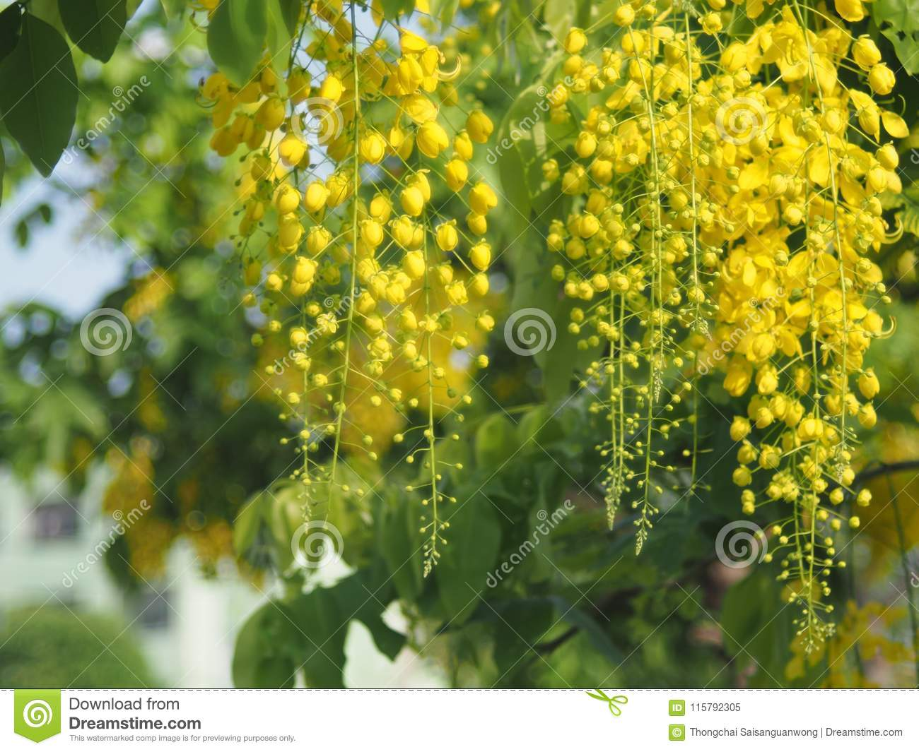 Yellow Flowers That Are Inflorescence Hanging From The Flowering