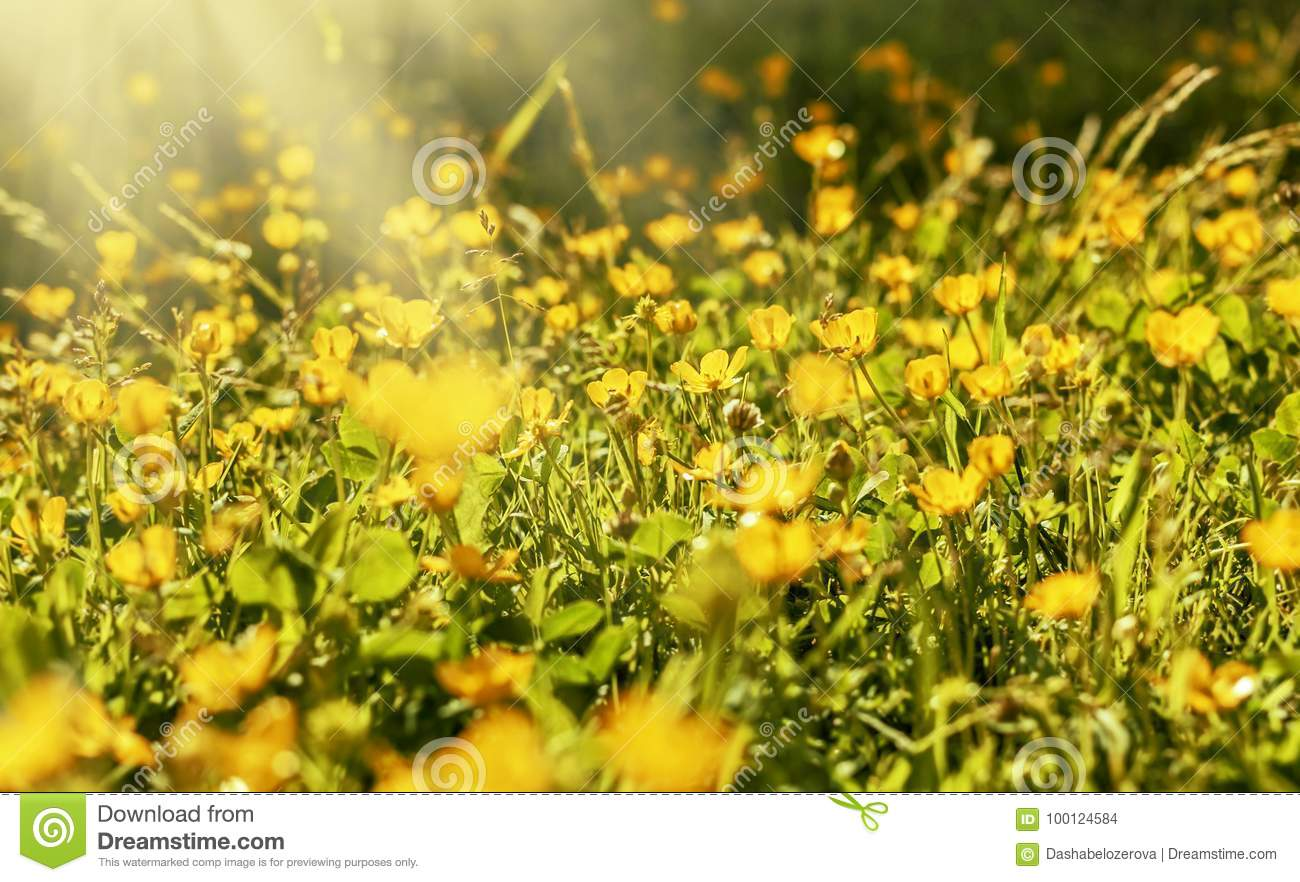 Yellow Flowers On Meadow Under Sun Stock Photo Image Of Bright