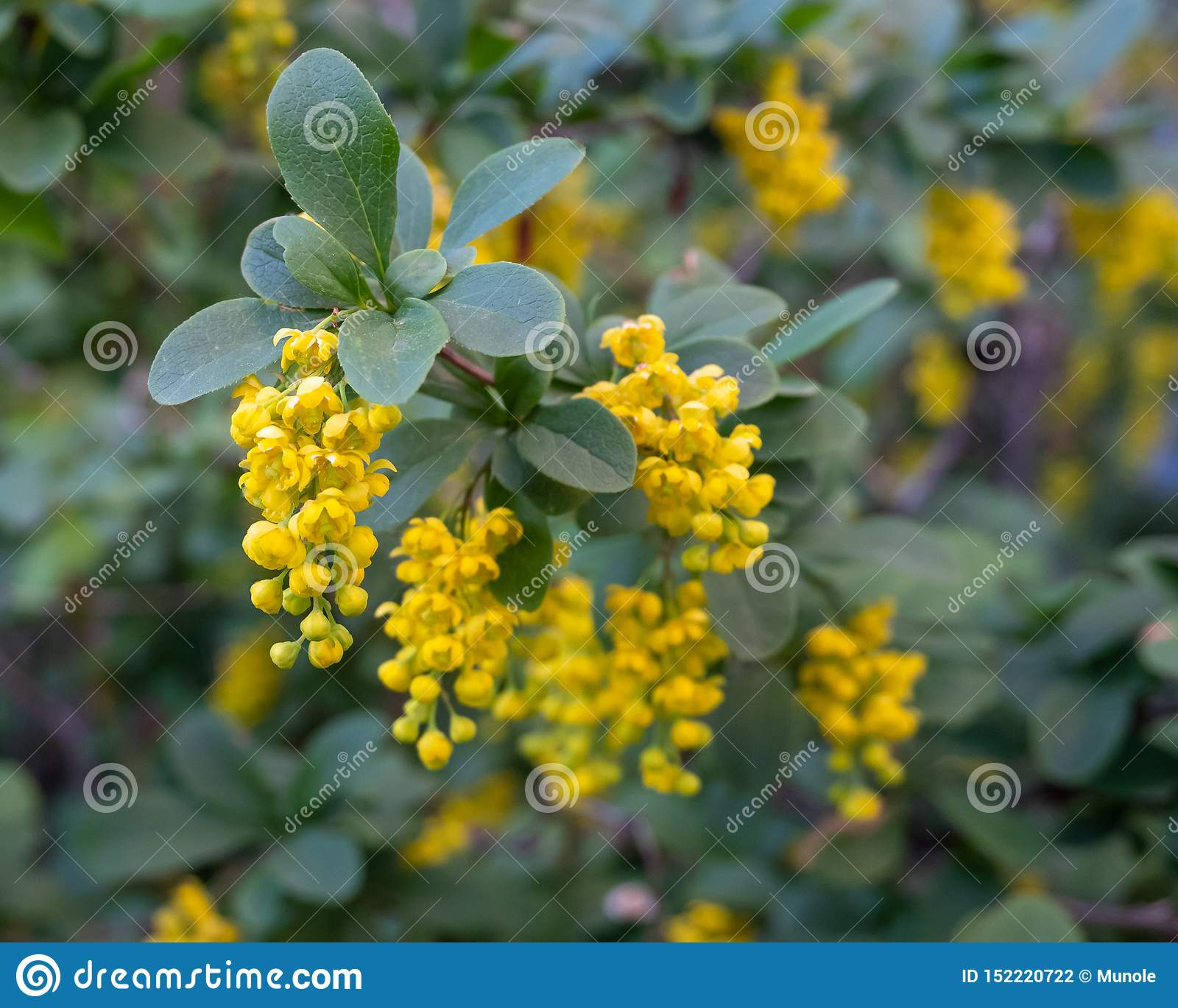 Yellow flowers of the medicinal plant barberry.