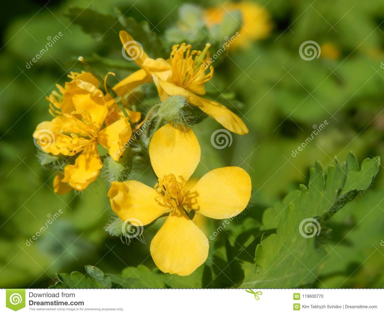 Yellow Flowers Of Medicinal Plants Are Celandine Stock Photo Image