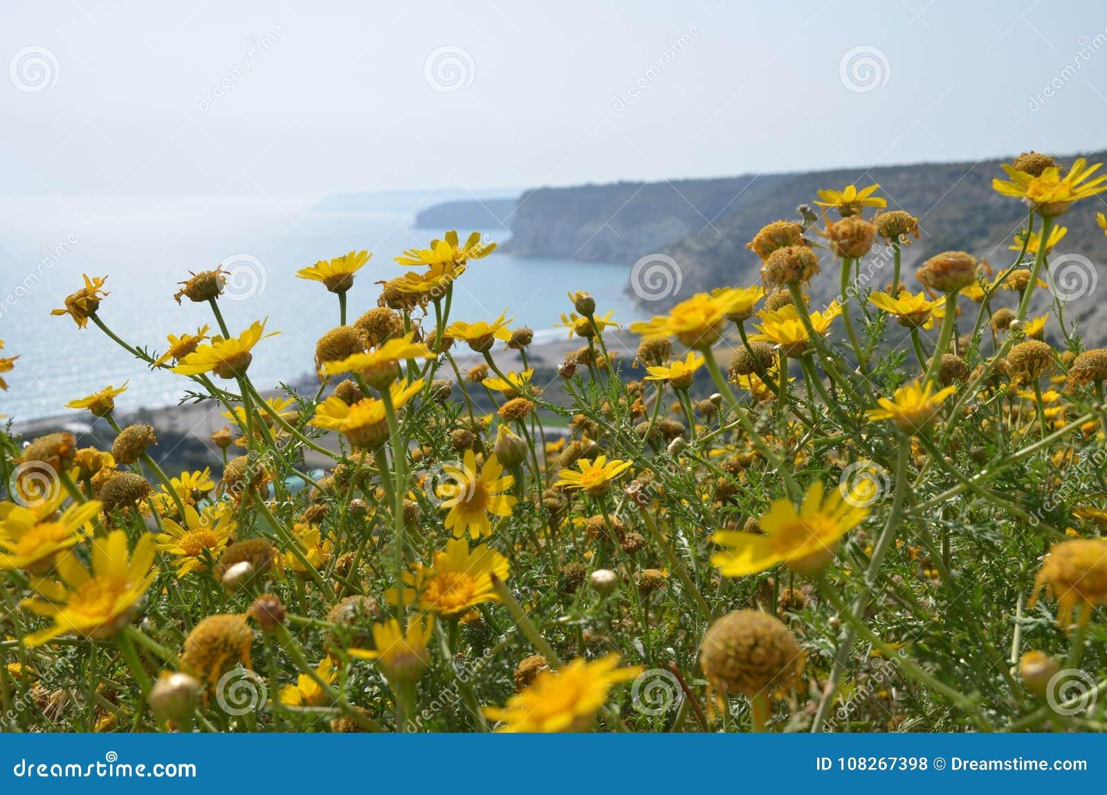 Yellow Flowers At Mediterranean Coast Stock Photo Image Of