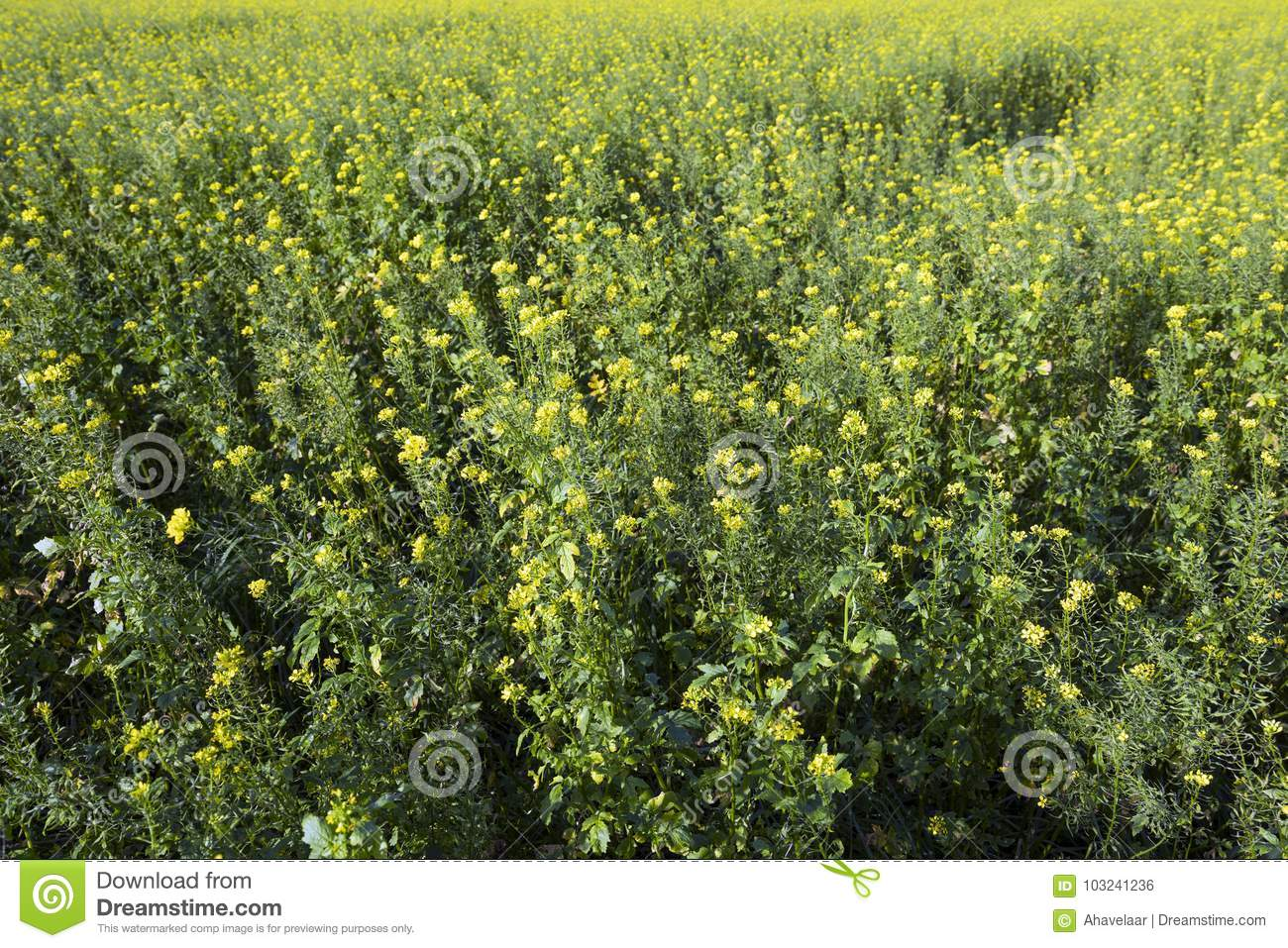Yellow Flowers Of Mustard Seed In Field Stock Photo Image Of