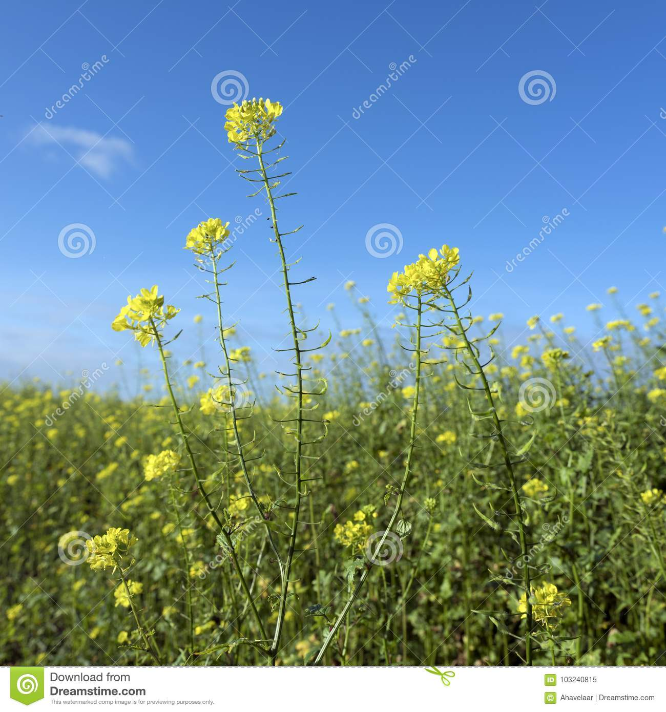 Yellow Flowers Of Mustard Seed In Field Stock Image Image Of