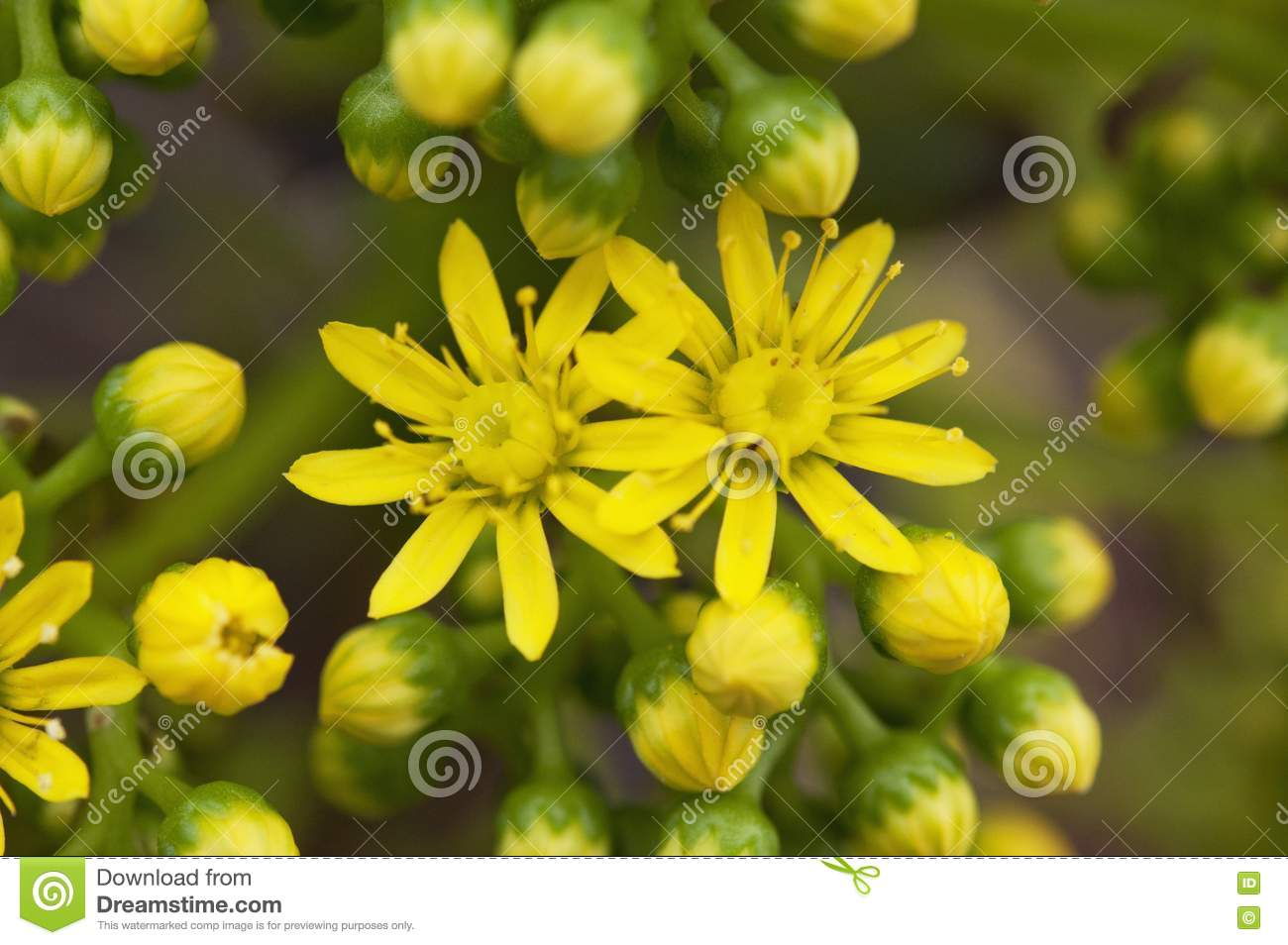 Yellow Flowers On An Ornamental Succulent Plant In California Stock