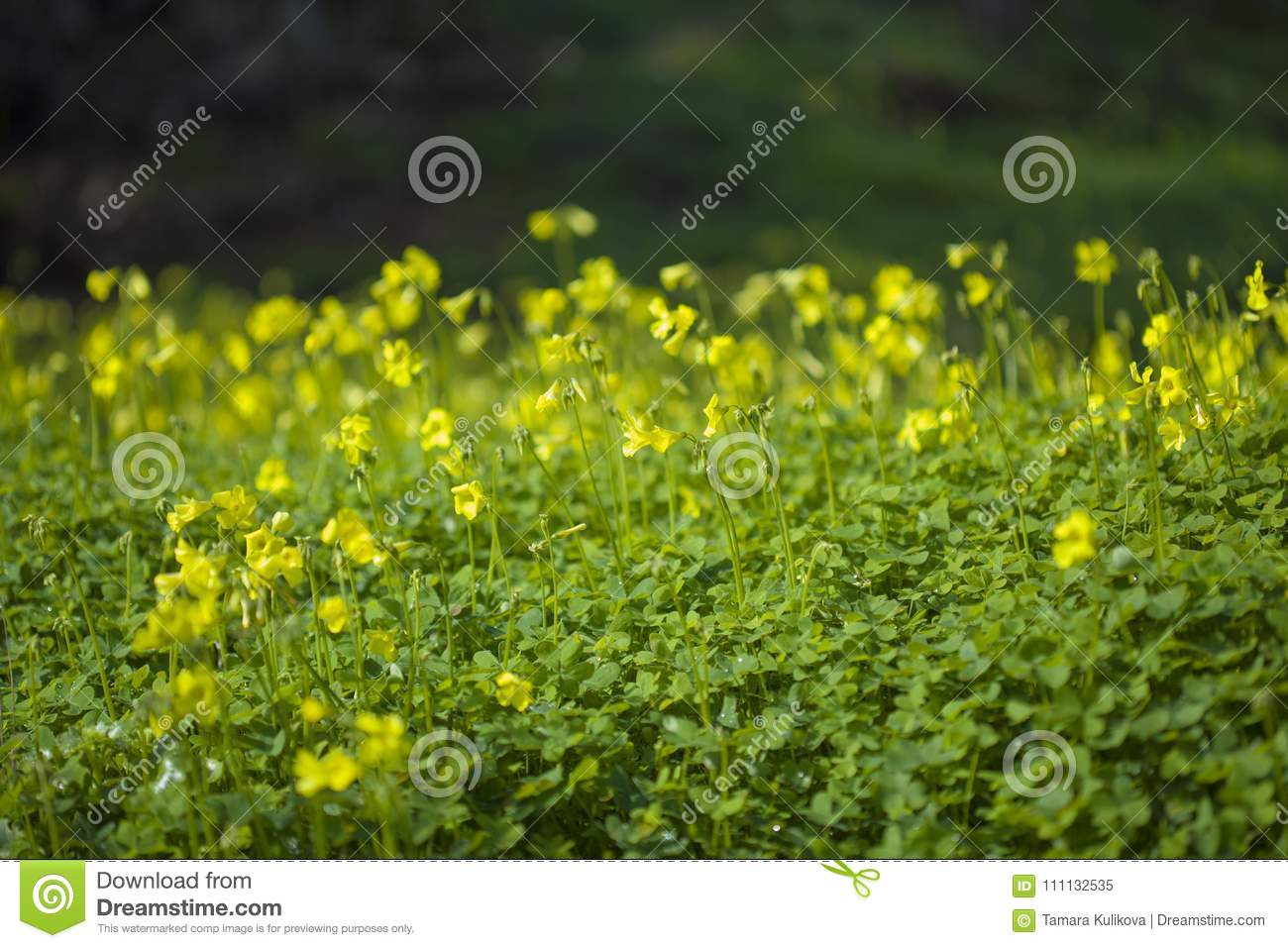 Yellow Flowers Of Oxalis Pes Caprae Bermuda Buttercup Stock Image