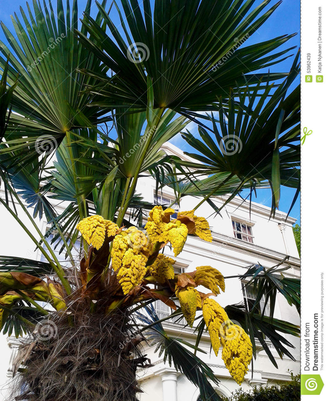 Yellow Flowers Of A Palm Tree Stock Image Image Of Architecture