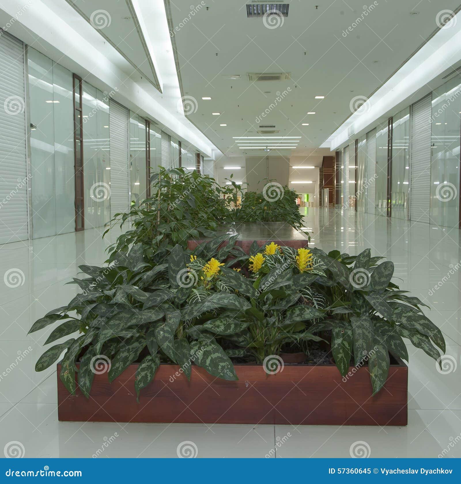 Yellow Flowers Panicles Plant Aphelandra (acanthus Family ... on