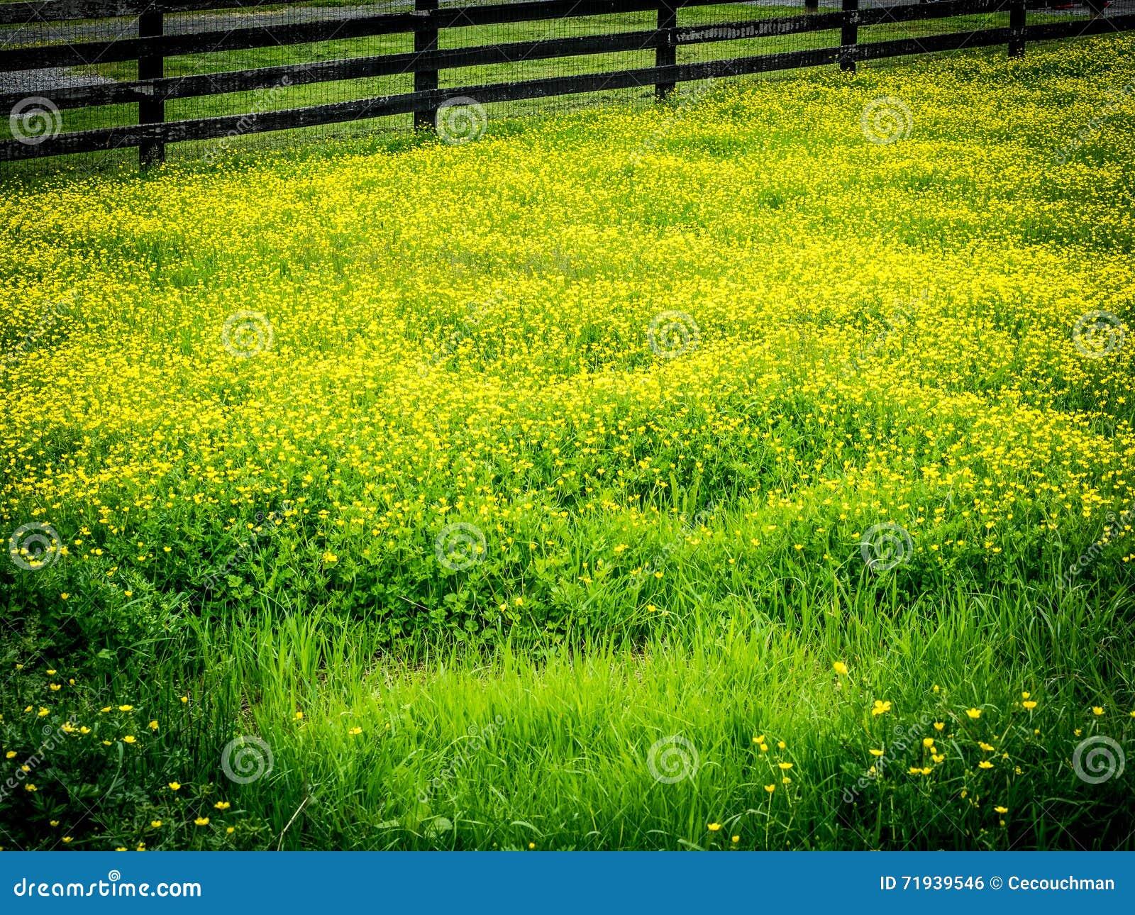 Yellow Flowers In Pasture Stock Photo Image Of Virginia 71939546