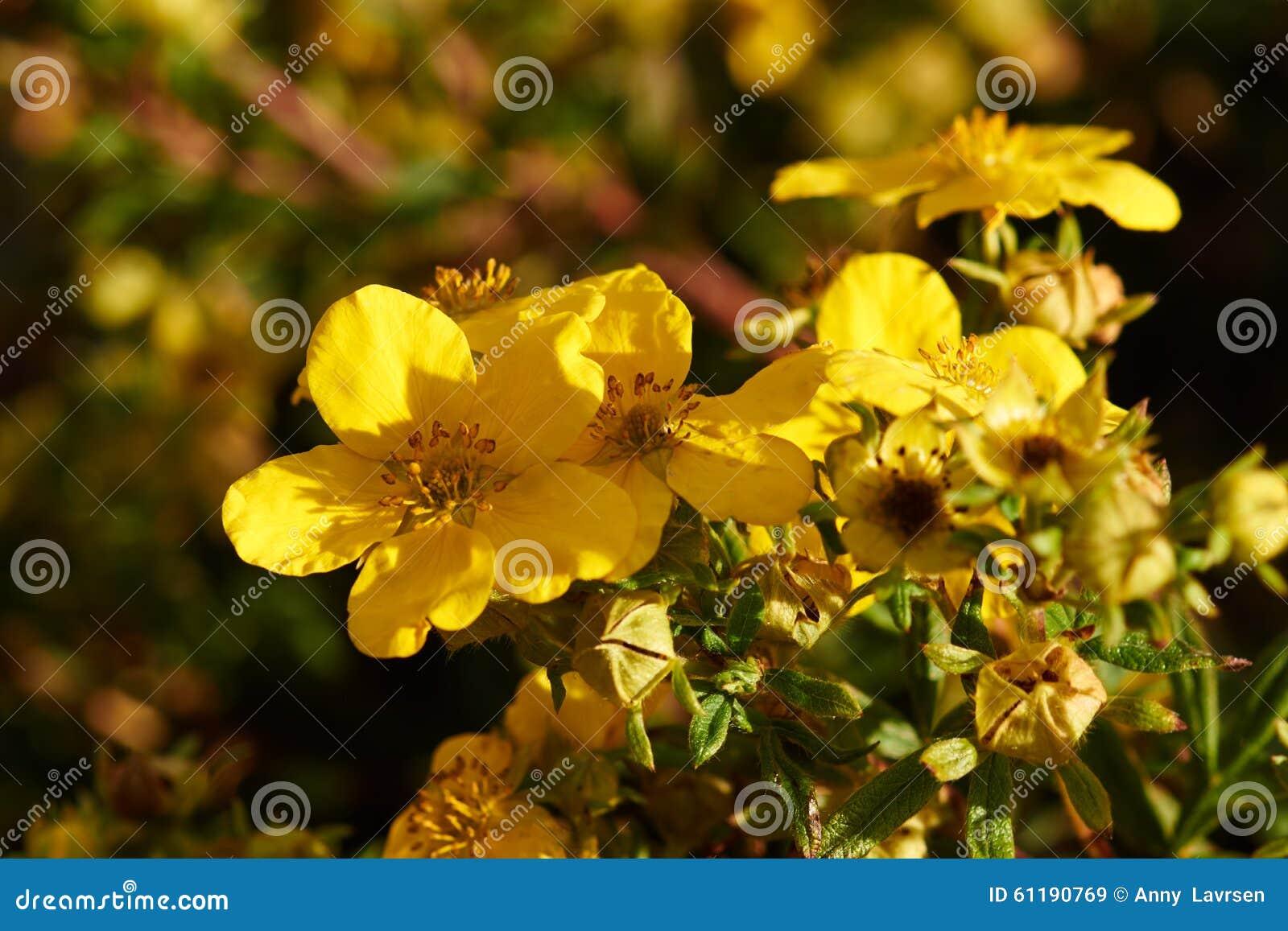 Yellow flowers on potentilla bush stock image image of denmark download yellow flowers on potentilla bush stock image image of denmark bush 61190769 mightylinksfo