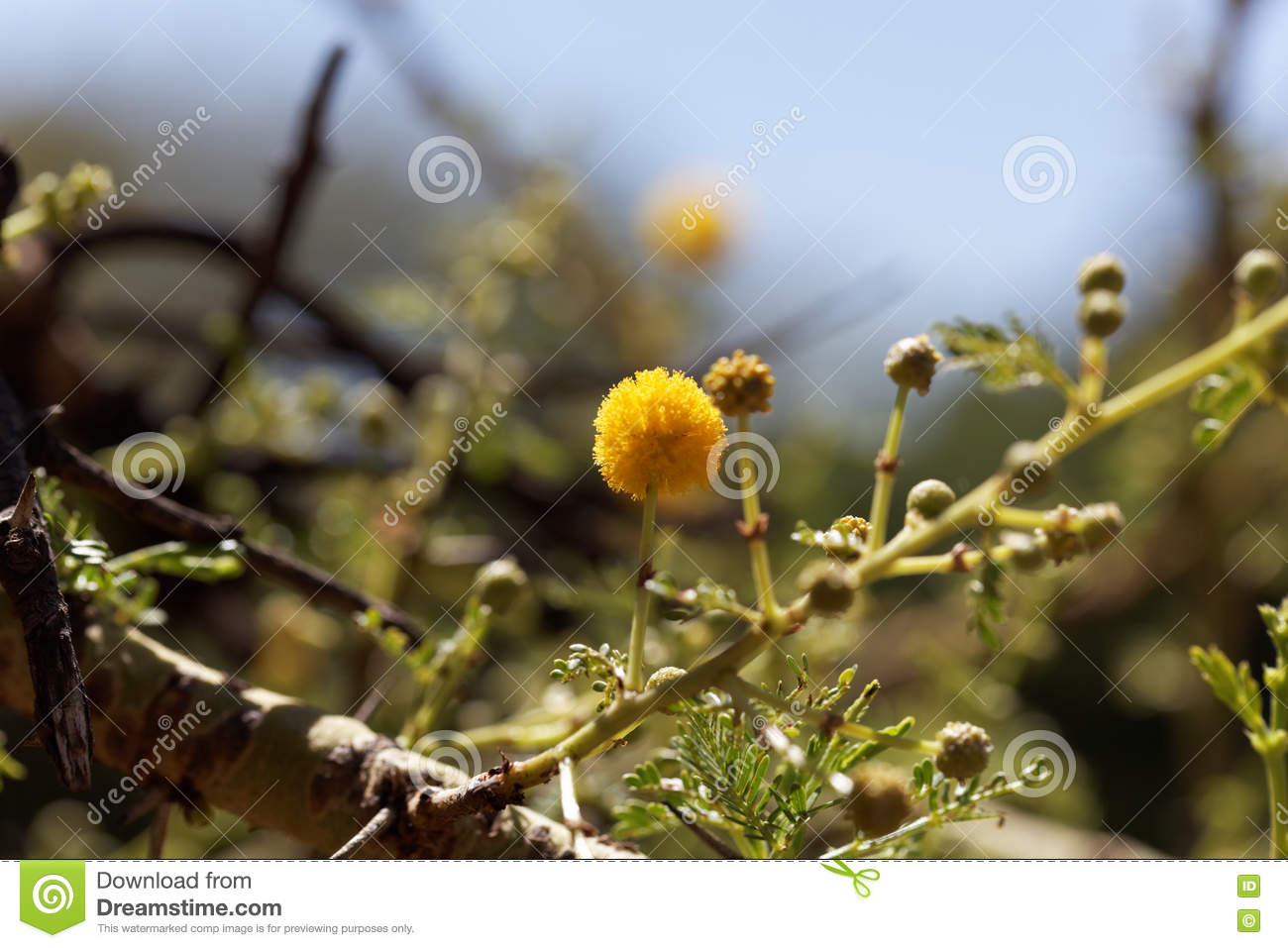 Yellow Flowers Of A Red Acacia Tree Stock Photo Image Of Shrub