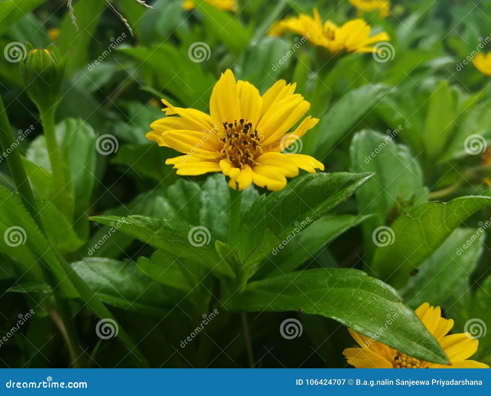 Beautiful yellow flower in srilanka stock image image of flower beautiful yellow flower in srilanka mightylinksfo