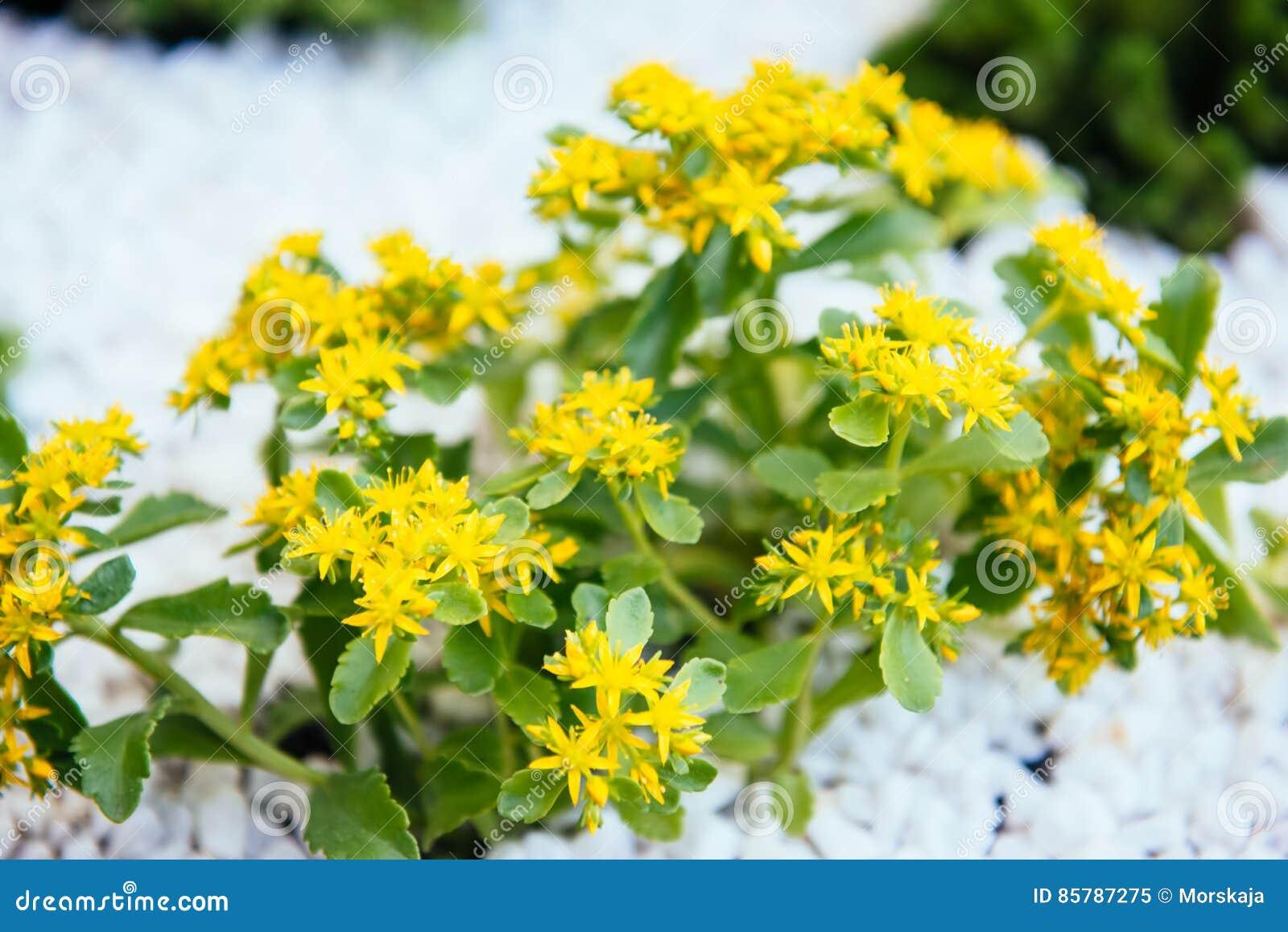 Yellow flowers sedum plants stock image image of decorative yellow flowers sedum plants mightylinksfo