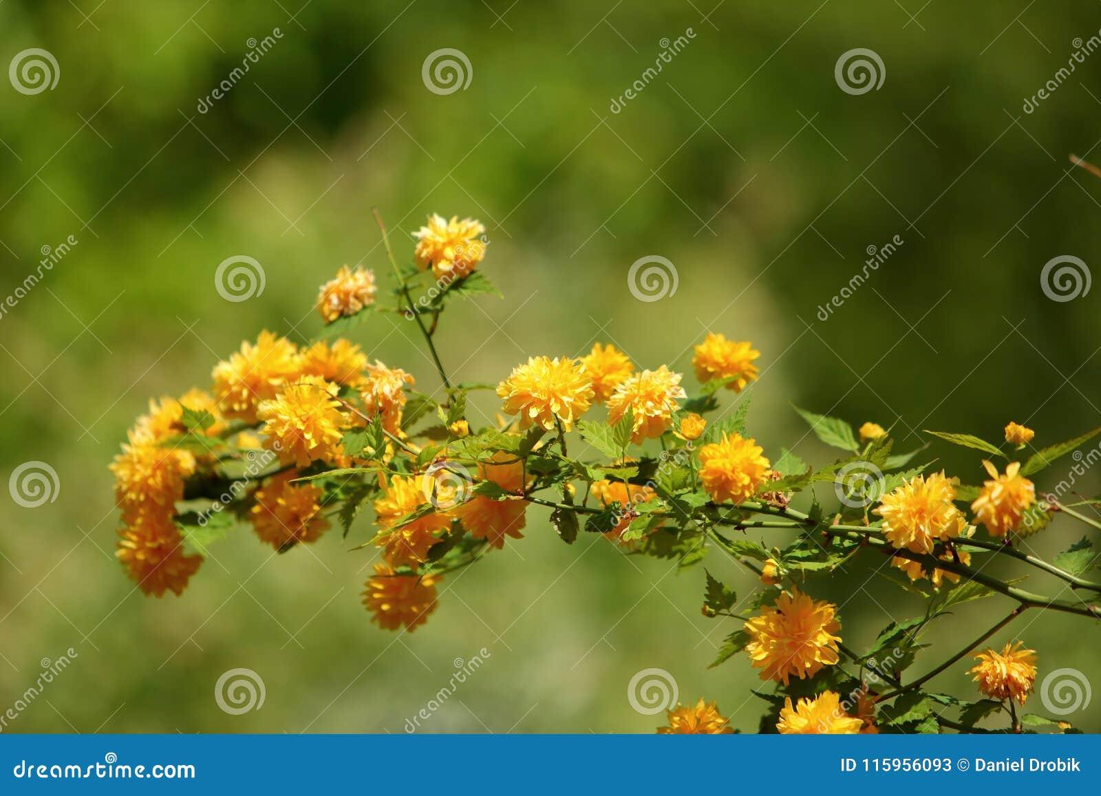 Yellow flowers on shrubs are a very popular color among various yellow flowers on shrubs are a very popular color among various types of plants mightylinksfo