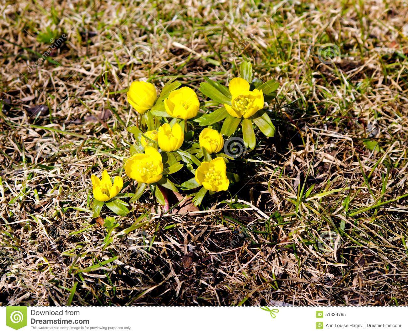 Yellow flowers stock image image of nature grass blooming 51334765 yellow flowers mightylinksfo