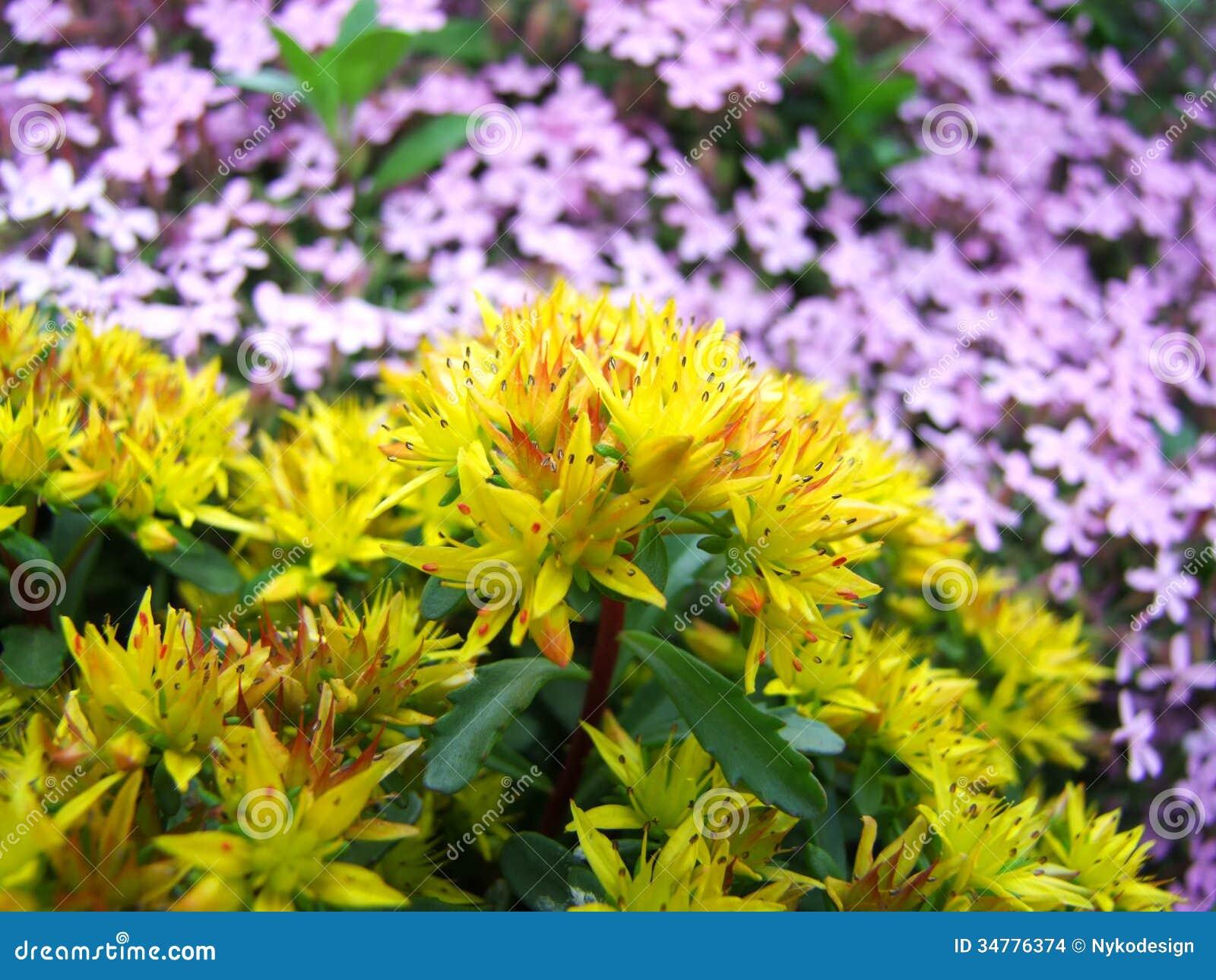 Yellow flowers stock photo image of garden spiky plant 34776374 yellow flowers mightylinksfo