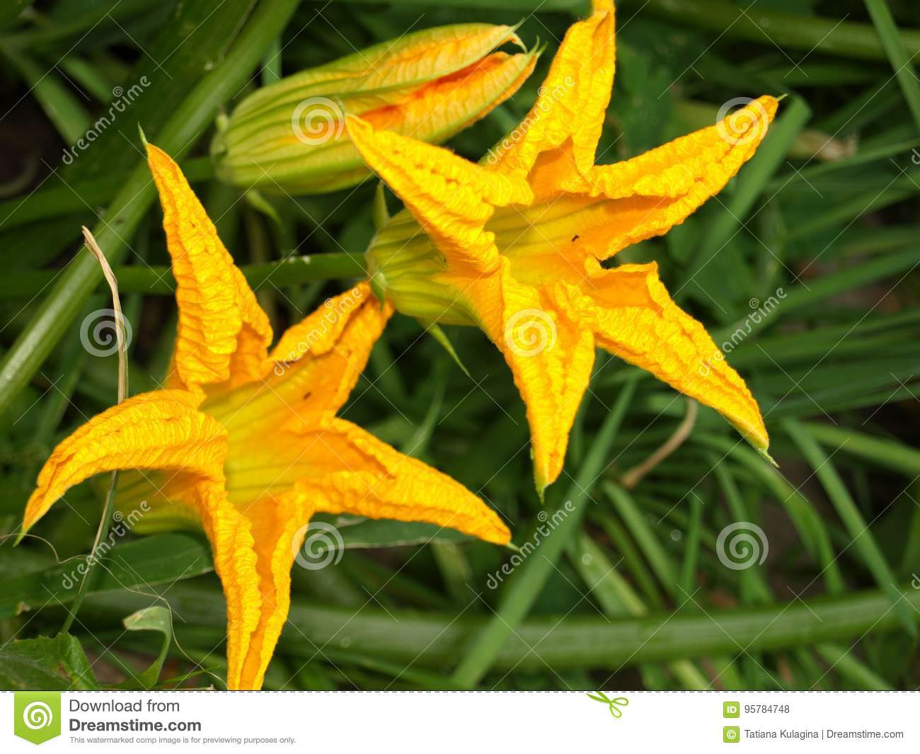 Yellow Flowers Star Shaped Stock Photo Image Of Background 95784748