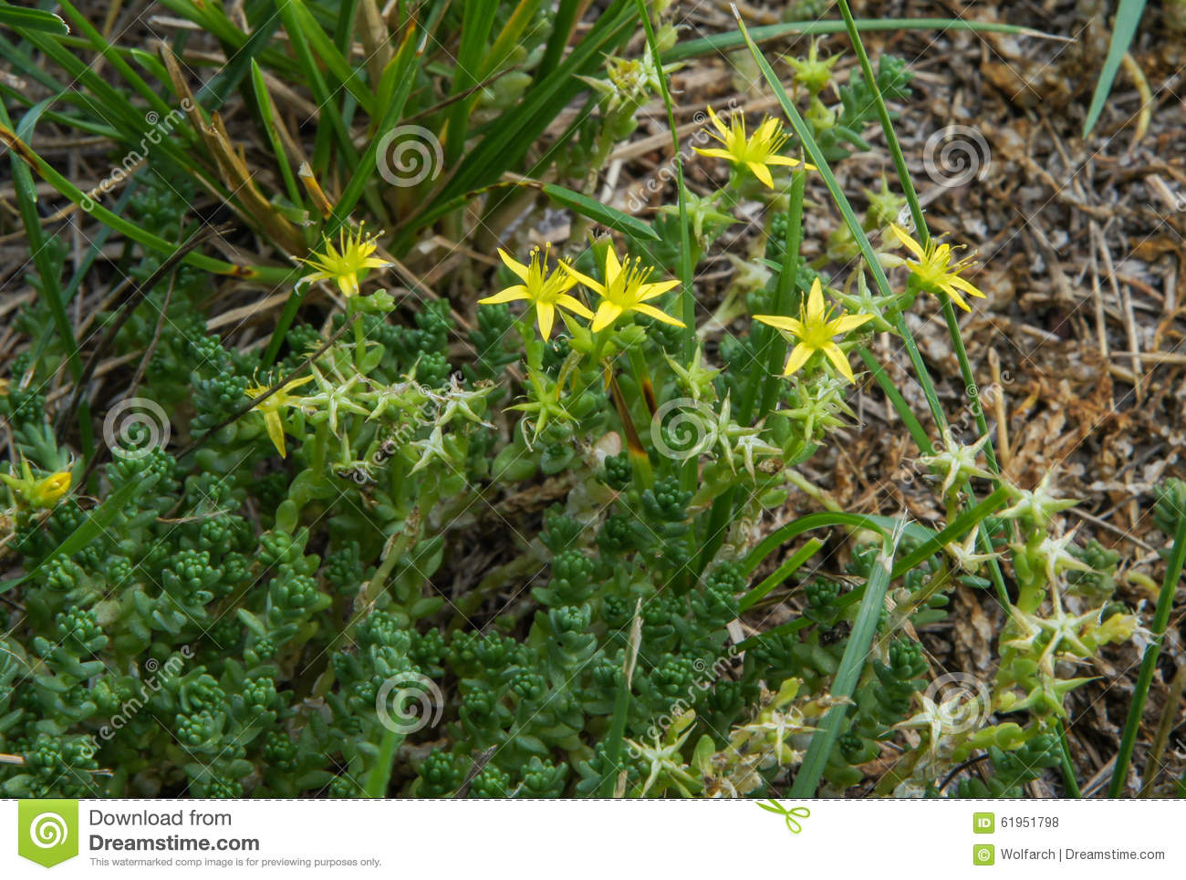 Yellow flowers on succulent plant stock photo 61951798 megapixl yellow flowers on succulent plant mightylinksfo