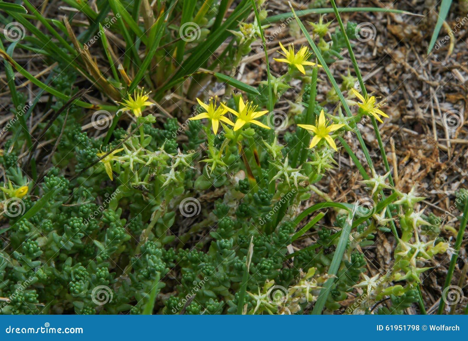 Yellow Flowers On Succulent Plant Stock Photo 61951798 Megapixl