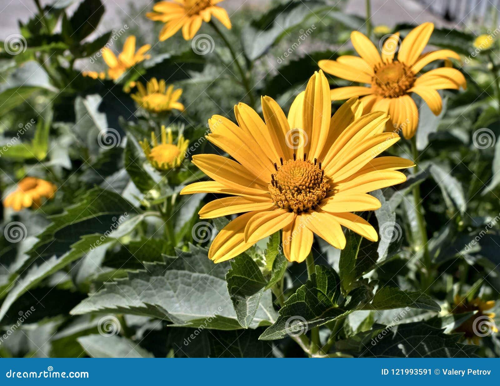 Yellow Flowers Sunny Heliopsis Stock Image Image Of Helianthoides