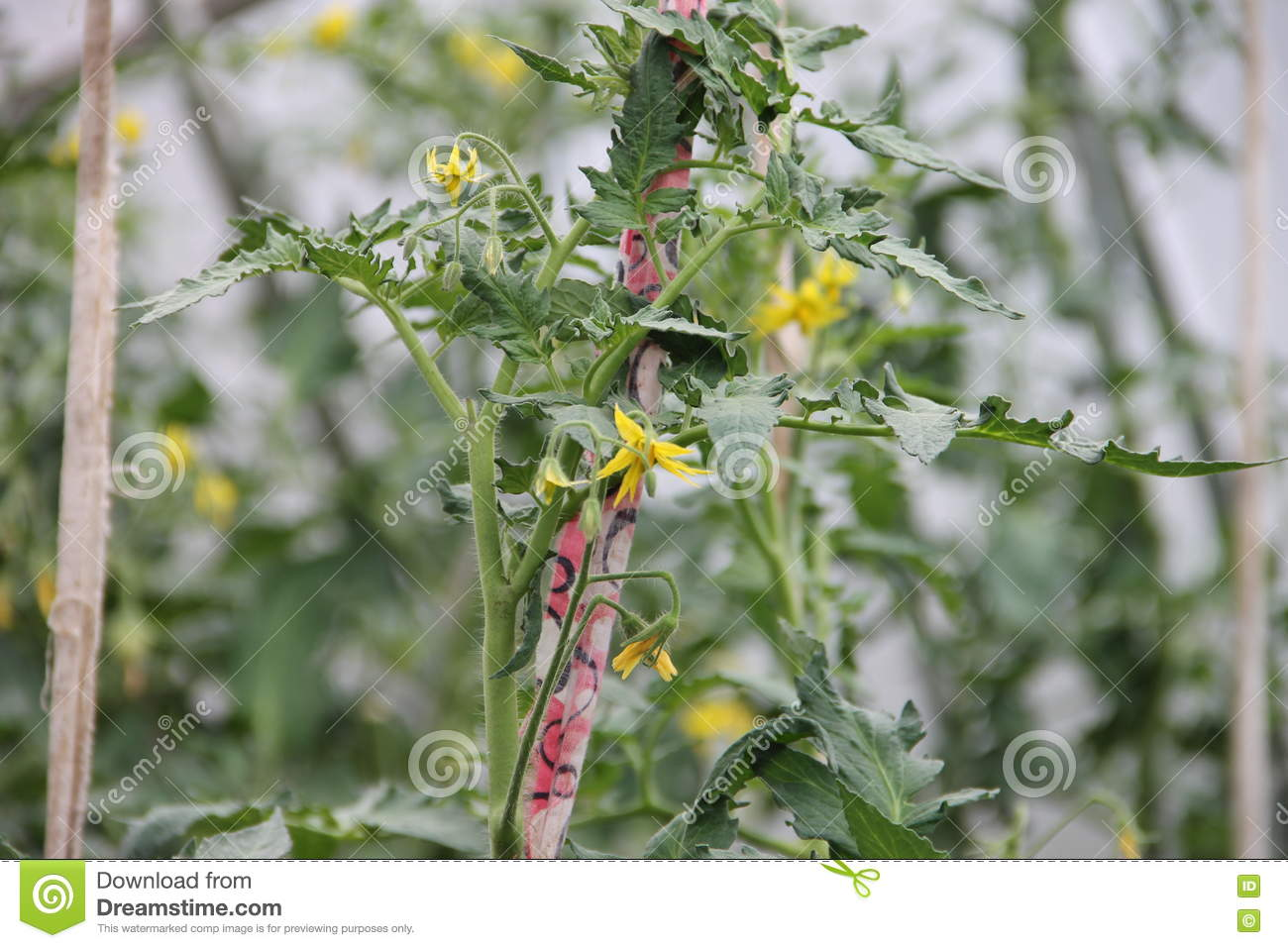 Yellow Flowers And Tomato Plants Growing In Greenhouse Indoors Stock