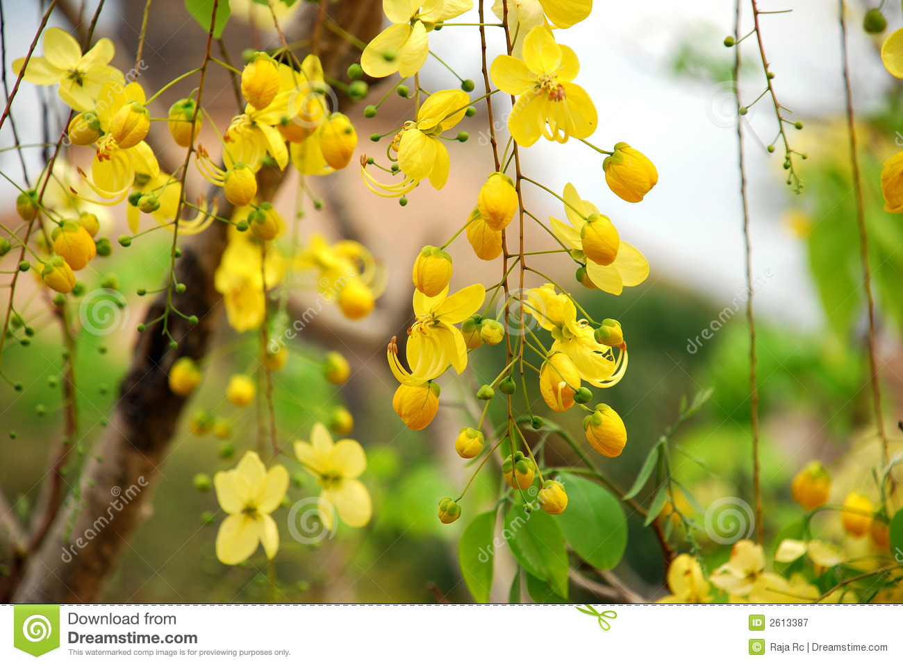 Yellow Flowers Tree Stock Image Image Of Color Tree 2613387