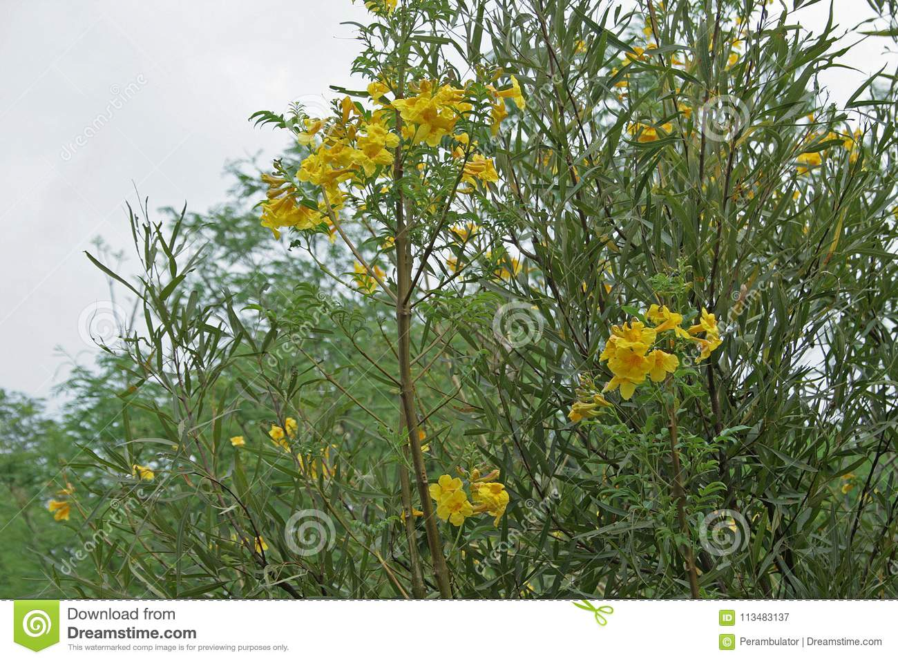 Yellow flowers on a tree in nature stock image image of small yellow flower clusters on a tree with green foliage in the wilderness mightylinksfo
