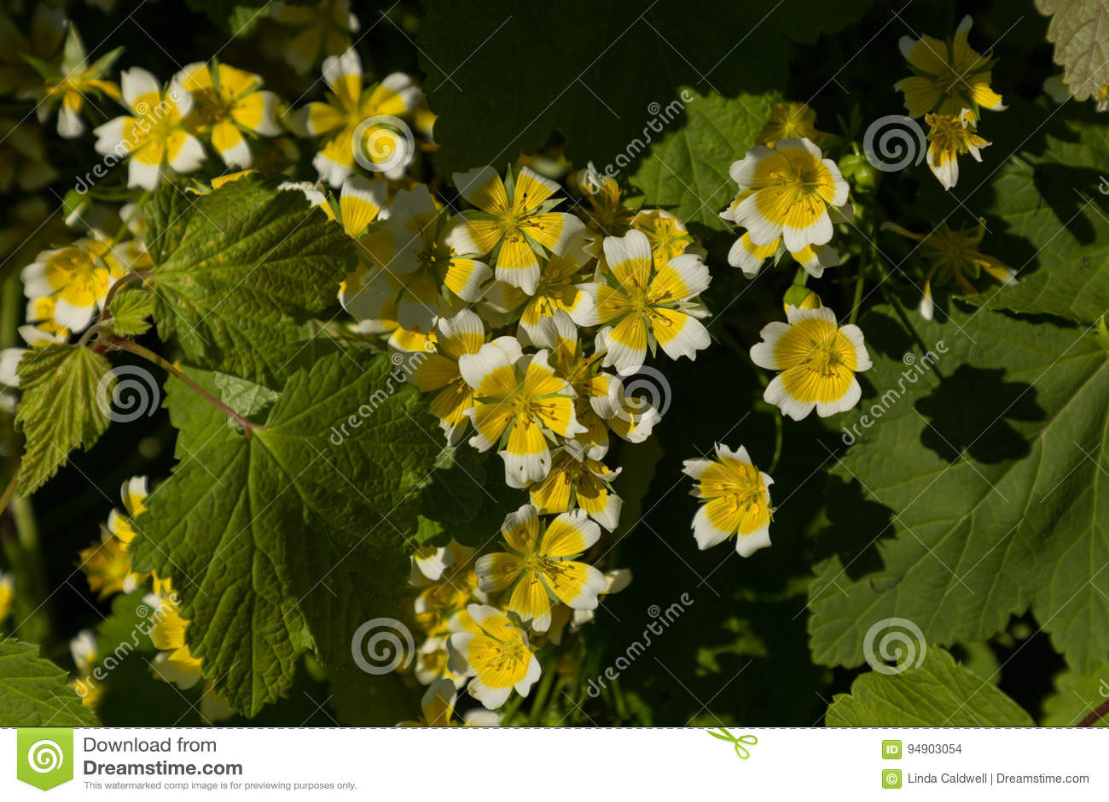 Yellow flowers stock photo image of blossoms portumna 94903054 yellow flowers mightylinksfo