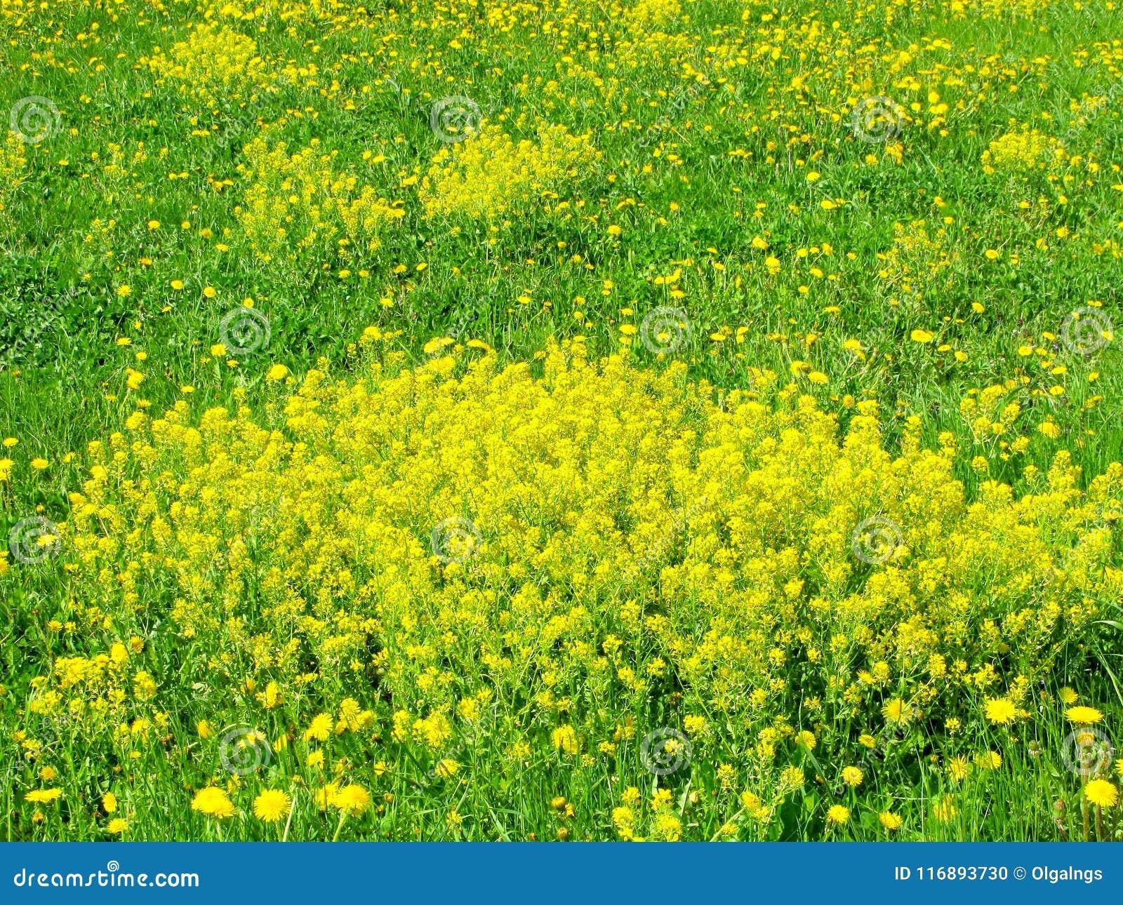 Yellow Flowers Winter Cress Bloom Stock Photo Image Of