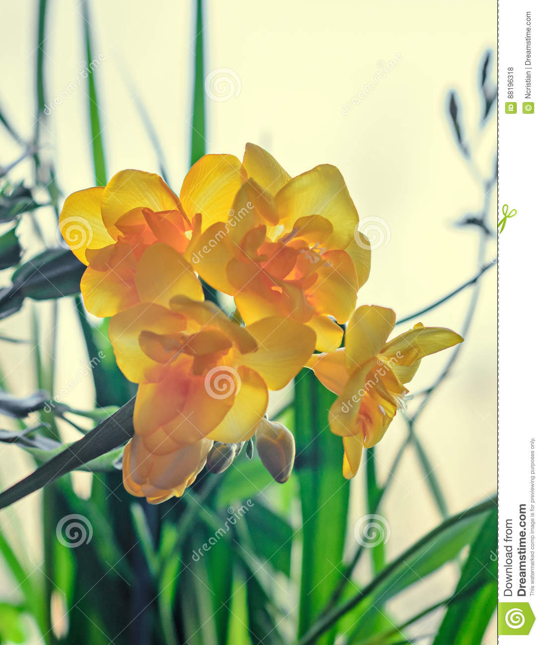 Yellow Freesia Flower Bokeh Background Green Leaves Close Up Stock
