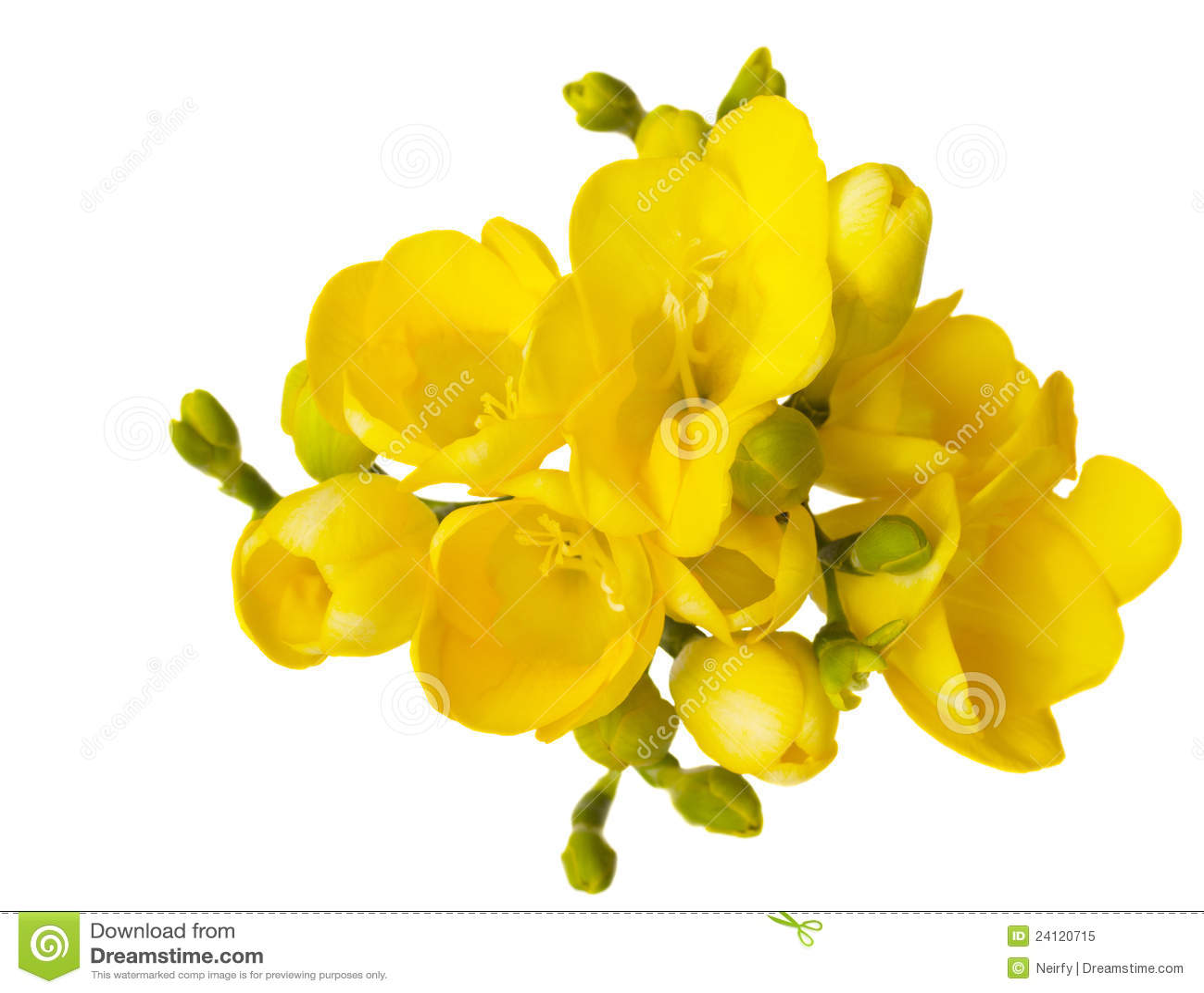 Yellow Freesia Flowers Stock Image Image Of Delicate 24120715