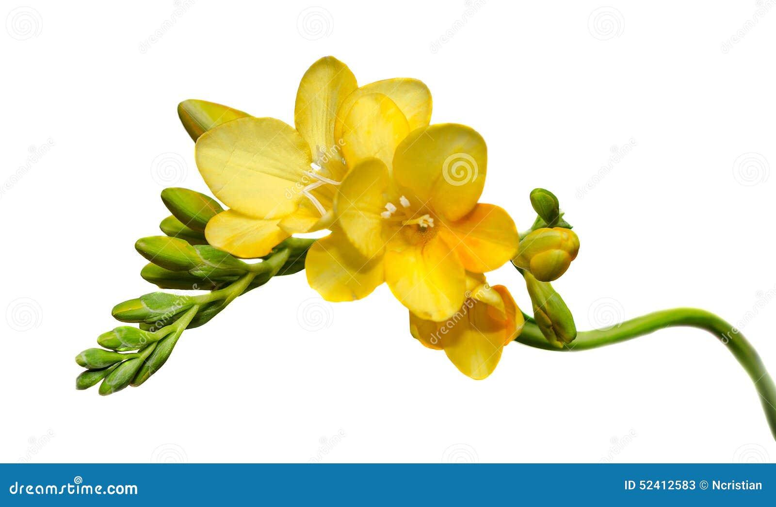 Yellow Freesia Flowers Close Up White Background Stock Image