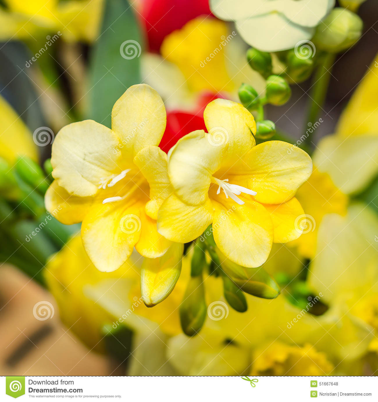 Yellow Freesia Flowers Close Up Yellow Floral Background Stock