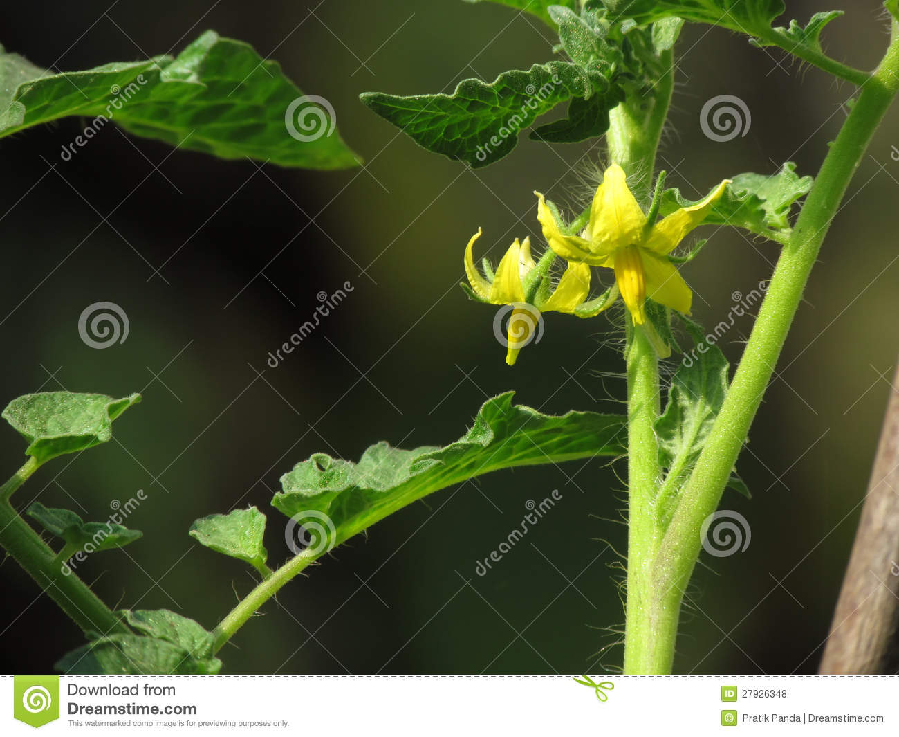 Yellow Fresh Flowers On A Tomato Plant Stock Photo Image Of Yellow