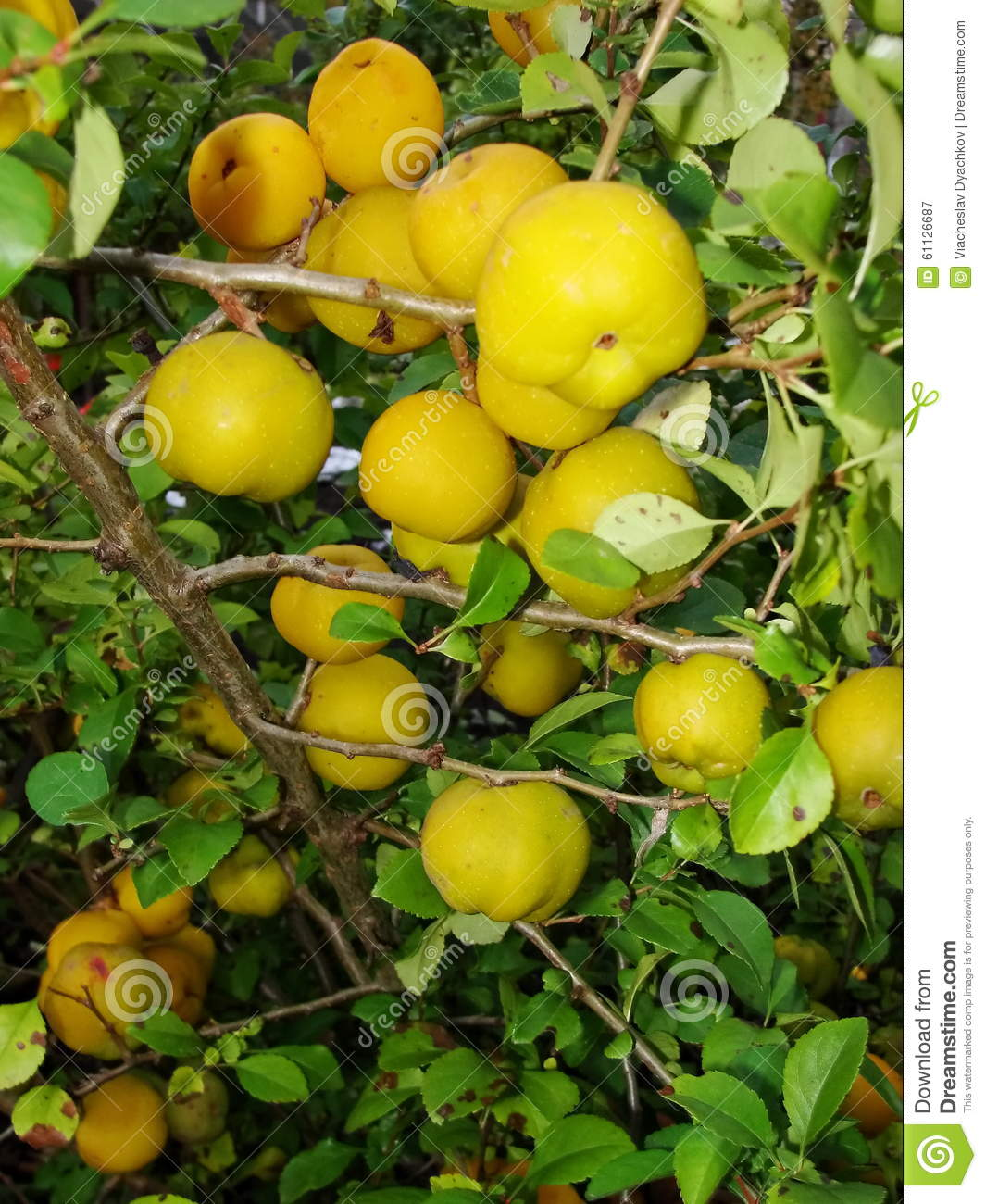 Yellow Fruits Of Japanese Quince Garland On Branches Of A