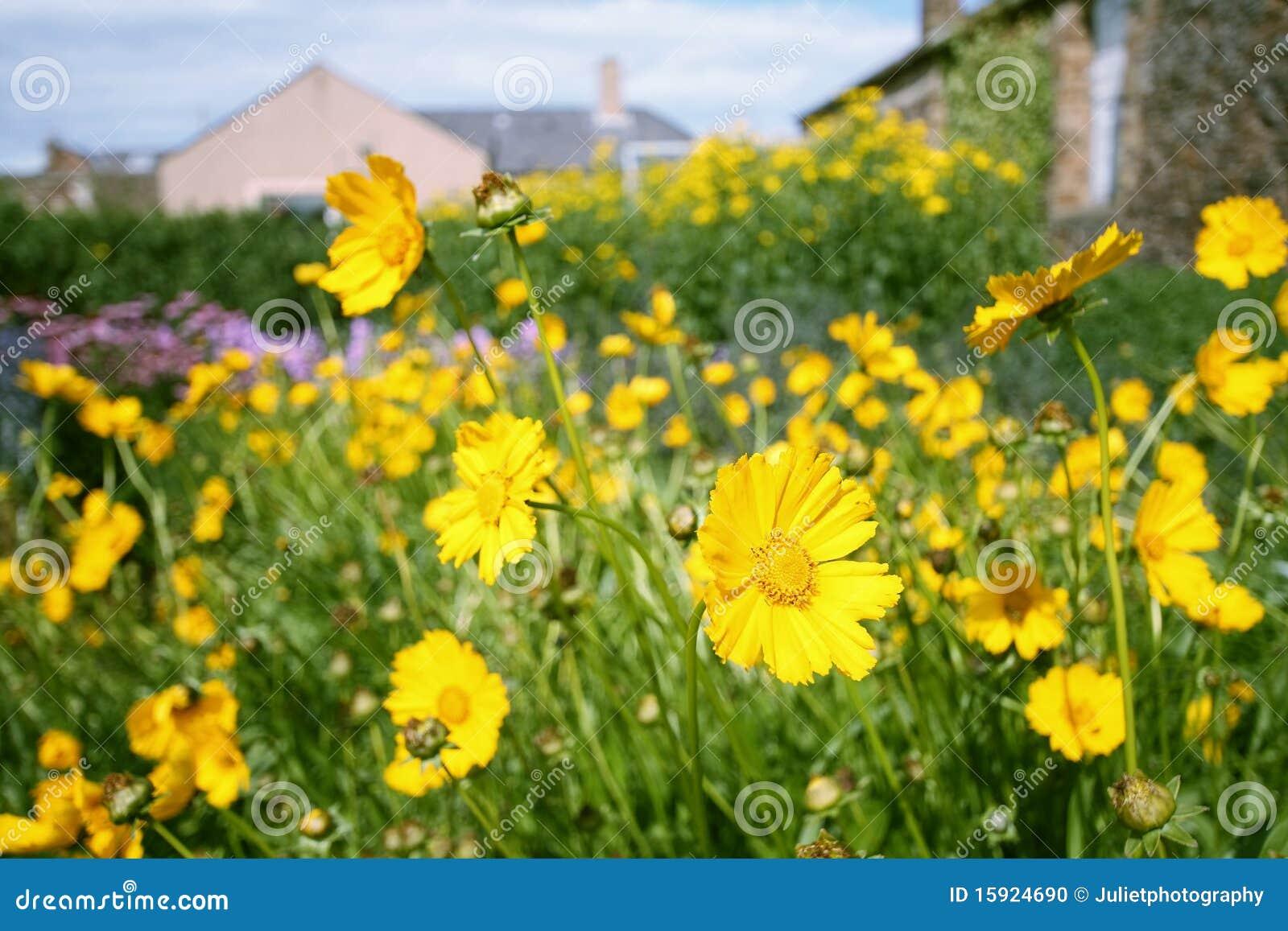 Yellow Garden Flowers Stock Photo Image 15924690