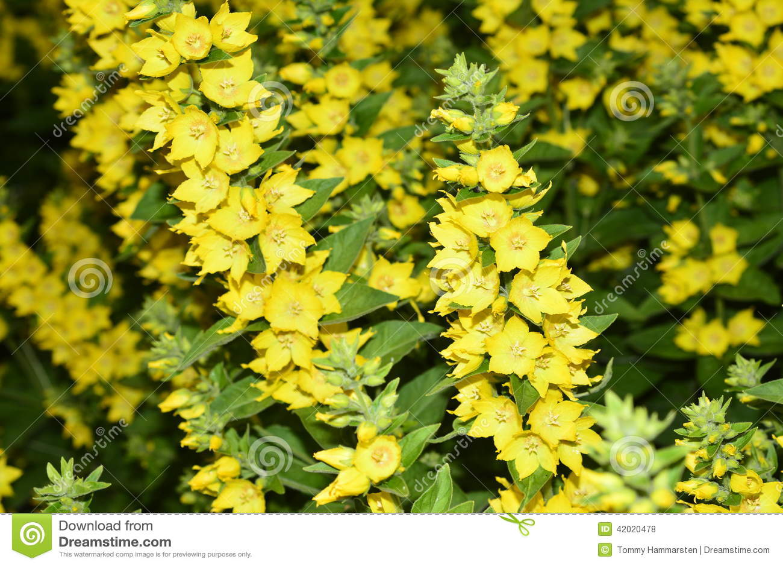 Yellow Garden Flowers Stock Photo Image 42020478