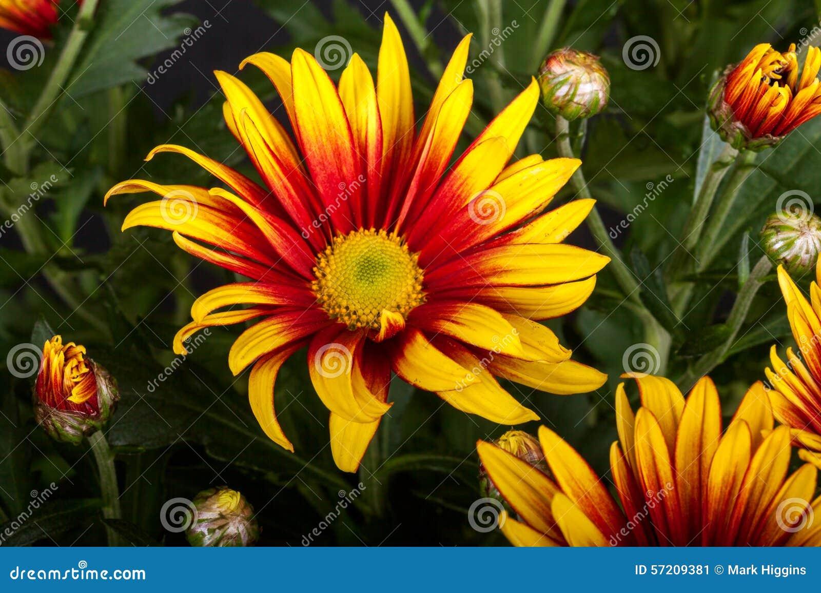 Yellow gazania daisy stock image. Image of color, aster - 57209381