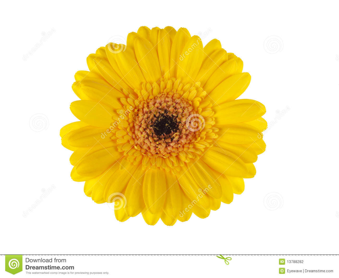 Download Yellow Gerber Daisy Blossom Isolated On White Stock Photo - Image of above, blossom: 13788282